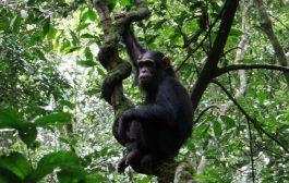 BIODIVERSITE: Les singes, une espèce en voie d'extinction
