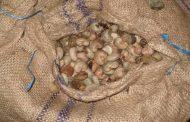 AGRICULTURE: Le conseil ivoirien de l'anacarde à Niakara