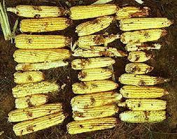 Maïs attaqués par des chenilles - Photo Intenet