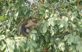 BIODIVERSITÉ: L'histoire des singes sacrés de Man