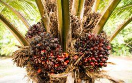 AGRICULTURE: Un plan de communication pour une huile de palme durable se prépare