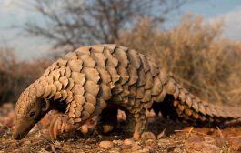 FAUNE: le pangolin, grande victime de trafic, une menace d'extinction pour cette espèce