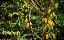 AGRICULTURE : 825 FCFA, le prix bord champs du kg de cacao en Côte d'Ivoire