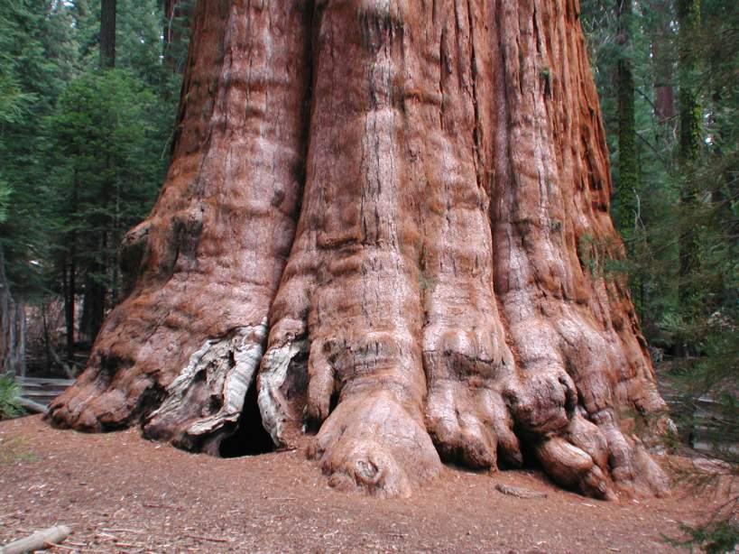 BIODIVERSITE: General Sherman, l'arbre le plus grand du monde