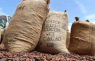 Agriculture: la commercialisation du cacao ivoirien reprend