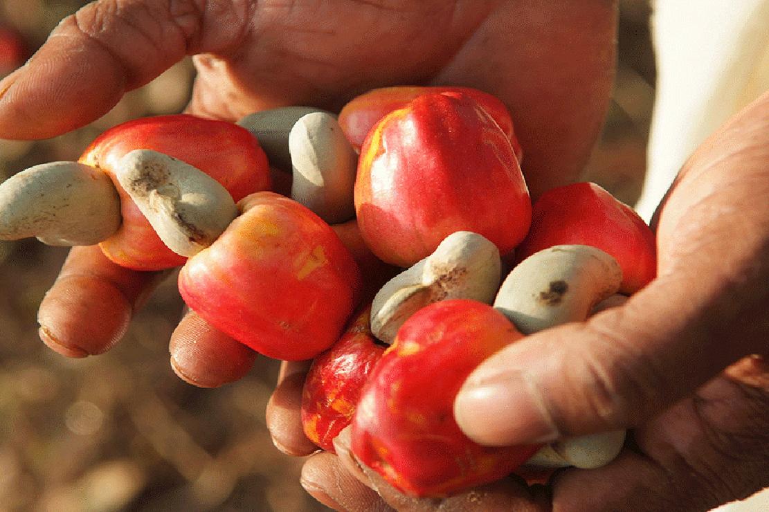Agriculture : la BAD soutient la culture de l'anacarde au Burkina