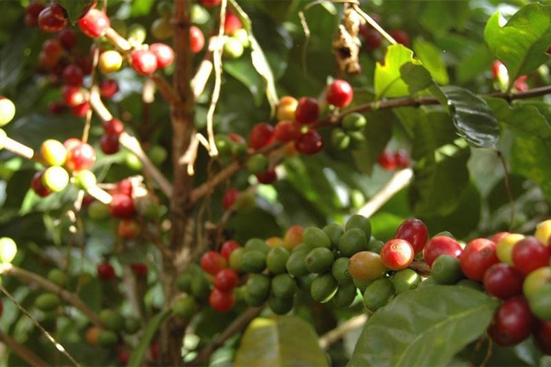 AGRICULTURE: La culture du café robusta au cœur des débats