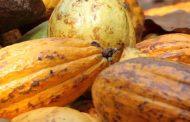 AGRICULTURE: Bientôt du cacao écologique ivoirien sur le marché