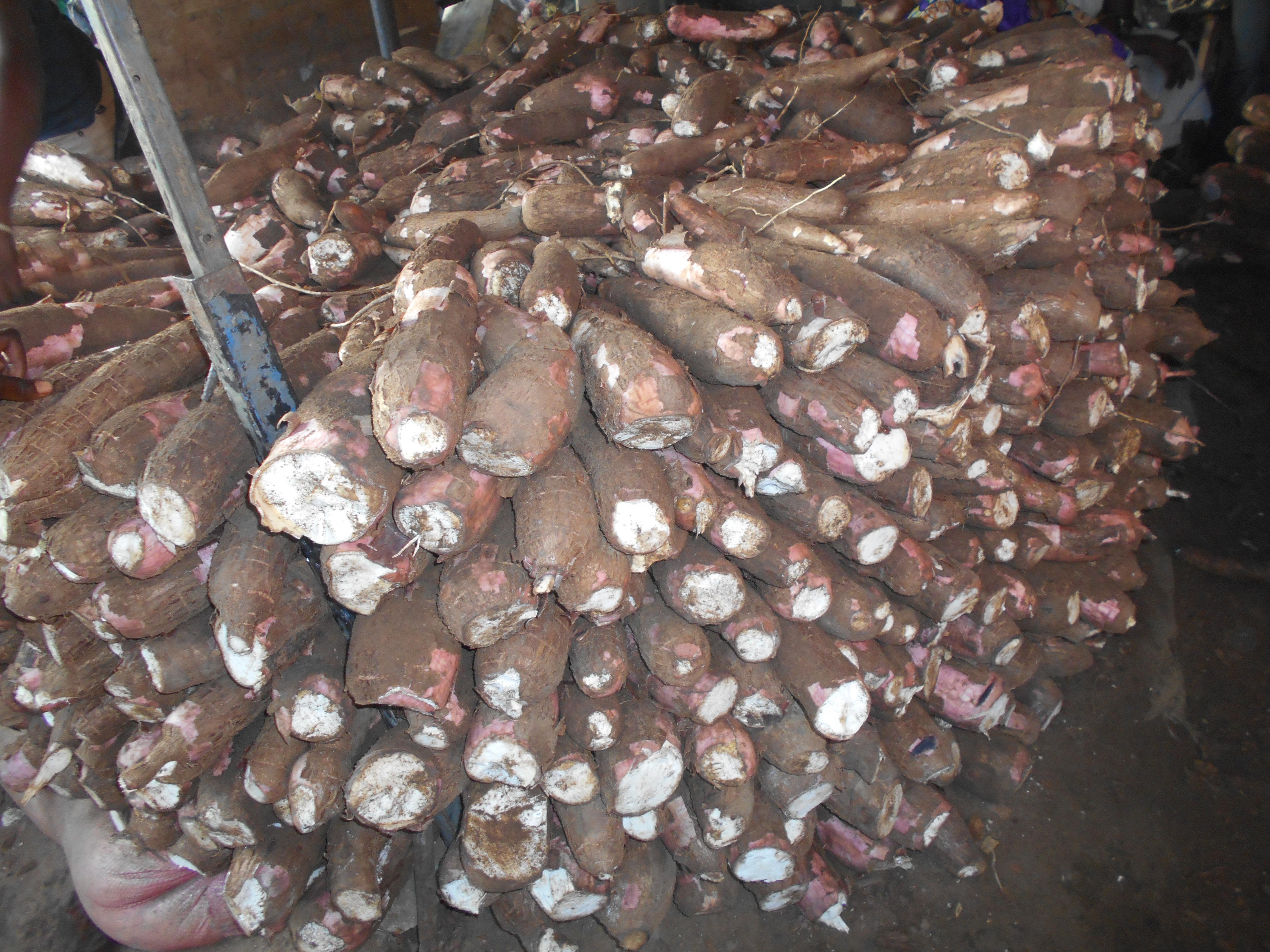 AGRICULTURE : La striure brune, la maladie du manioc qui menace l'Afrique de l'Ouest