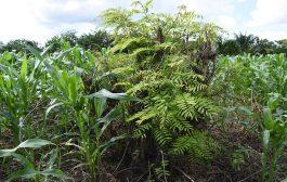 AGRICULTURE-FORET : L'acacia recommandé dans l'agroforesterie