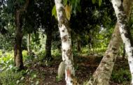 FORET : L'agroforesterie, une pratique agricole simple aux multiples avantages