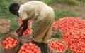SECURITE ALIMENTAIRE : La Côte d'Ivoire vers une technique de conservation de la tomate fraiche