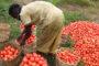 AGRICULTURE : L'agroforesterie, une pratique pour sauver la culture du cacao