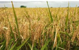 SECURITE ALIMENTAIRE : La Côte d'Ivoire toujours à la recherche de solutions pour son autosuffisance en riz