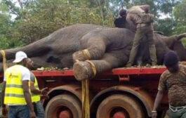 Faune : L'éléphant Ahmed à nouveau capturé à Brobo et transféré dans la réserve de N'zi River Lodge